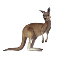 compagnon-kangourou.png
