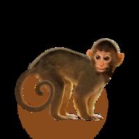 compagnon-singe.png